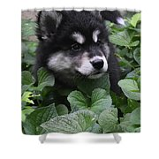 Sweet Markings On The Face Of An Alusky Puppy Dog Shower Curtain