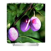 Sweet Ripe Blue Plum On A Branch Shower Curtain