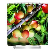 Sweet Ripe  Plum On A Branch Shower Curtain