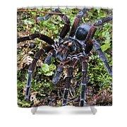 Tarantula Pamphobeteus Sp Male, Mindo Shower Curtain