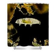 Tardigrade, Or Water Bear, Lm Shower Curtain