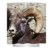 Taunting Bighorn Shower Curtain
