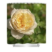 Tchaikovski Hybrid Tea Rose, White Rose Originally Produced By  Shower Curtain