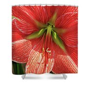 Terra Cotta Amaryllis Shower Curtain