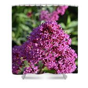 Terrific Cluster Of Blooming Pink Phlox Flowers Shower Curtain