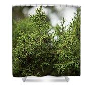 Texas Cedar Tree Shower Curtain