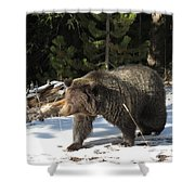The American Grizzly Shower Curtain