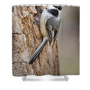 The Black Capped Chickadee Shower Curtain