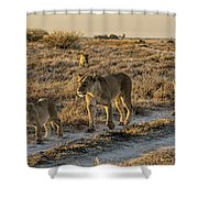 The Black Maned Lions Of The Kalahari Shower Curtain