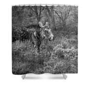 The Calm Of A Moose Bw Shower Curtain