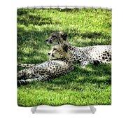 The Cheetahs Shower Curtain