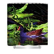 The Common Gallinule Shower Curtain