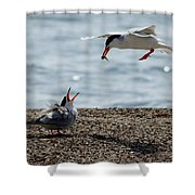 The Courtship Feeding - Series 1 Of 3 Shower Curtain