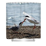 The Courtship Feeding - Series 2 Of 3 Shower Curtain