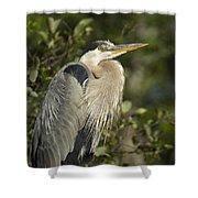 The Gaze - Great Blue Heron - Ardea Hernias Shower Curtain