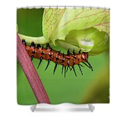 The Gulf Fritillary Caterpillar  Shower Curtain