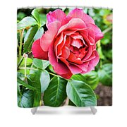 The Hot Cocoa Red Rose Shower Curtain