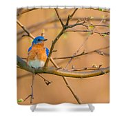 The Male Eastern Bluebird Shower Curtain