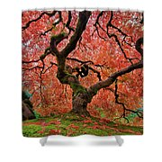 The Old Japanese Maple Tree In Autumn Shower Curtain