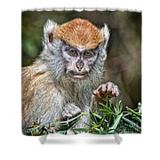The Stare A Baby Patas Monkey  Shower Curtain