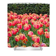 The Tulips Are Coming Shower Curtain