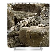 The Watchful Stare Of A Snow Leopard Shower Curtain