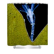 Thecate Hydrozoan Clytia Sp., Lm Shower Curtain