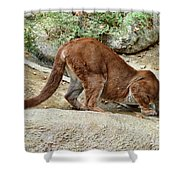 Thirsty Puma  Shower Curtain