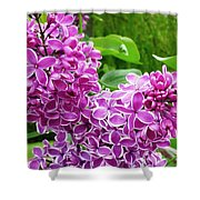 This Lilac Has Flowers With A White Edging.1 Shower Curtain