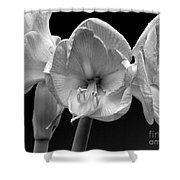 Three Amaryllis  Black And White Print Shower Curtain