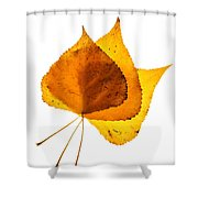 Three Backlit Cottonwood Leaves In Autumn On White Shower Curtain