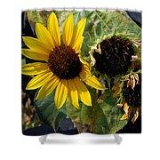 Three Beautiful Sunflower Shower Curtain