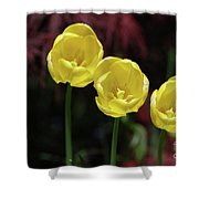Three Blooming Yellow Tulips Of Different Heights Shower Curtain