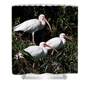 Three Buddies - White Ibis Shower Curtain