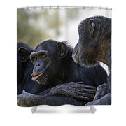 Three Chimpanzees Socializing  Shower Curtain