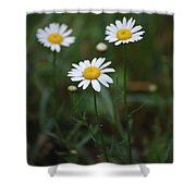Three Daisy's Shower Curtain