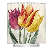 Three Lily Tulips  Shower Curtain