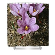 Three Lovely Saffron Crocus Blossoms Shower Curtain