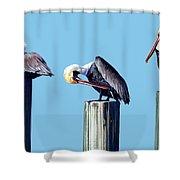 Three Pelicans Shower Curtain