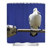 Three Pelicans On A Lamp Post Shower Curtain