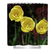 Three Pretty Blooming Yellow Tulips In A Garden Shower Curtain