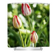 Three Striped Tulips Shower Curtain
