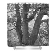 Three Trunk Tree, Whitley Mill Shower Curtain