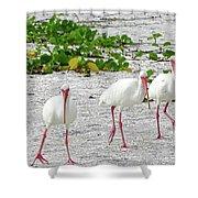 Three White Ibis Walking On The Beach Shower Curtain