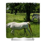 Three White Lipizzan Horses Grazing In A Field At The Lipica Stu Shower Curtain