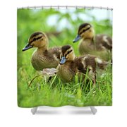 Three Wild Mallard Ducklings Shower Curtain