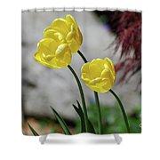 Three Yellow Garden Tulips Flowering In Spring Shower Curtain