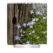 Thyme-leaved Bluets - D008426 Shower Curtain