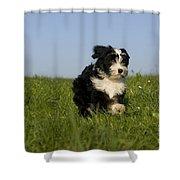 Tibetan Terrier Puppy Shower Curtain