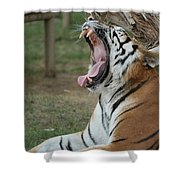 Tiger After Lunch Shower Curtain